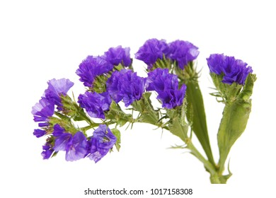 White statice flower images stock photos vectors shutterstock a macro closeup of deep blue limonium statice or sea lavender flower branch popular garden mightylinksfo Images