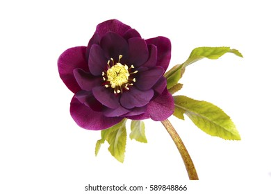 macro closeup of deep purple flower and bud with leaves of Helleborus niger, called Christmas rose or black hellebore, plant is one of the first to bloom in winter isolated on white