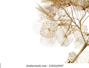 macro closeup of dried dry delicate skeleton leaves petals of hydrangea flowers blooms isolated on white background