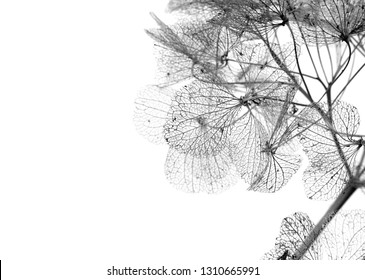 macro closeup of dried dry delicate skeleton leaves petals of hydrangea flowers blooms isolated on black and white monochrome background