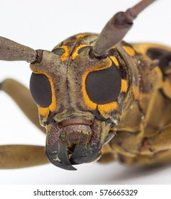 macro closeup face of longhorn beetle with white background