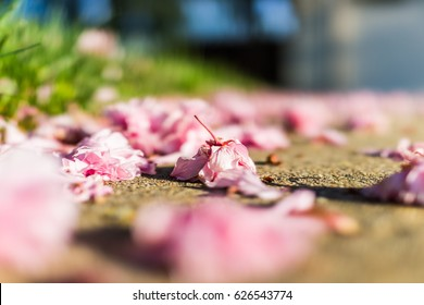 Macro closeup of fallen cherry blossom flowers on asphalt ground with bokeh