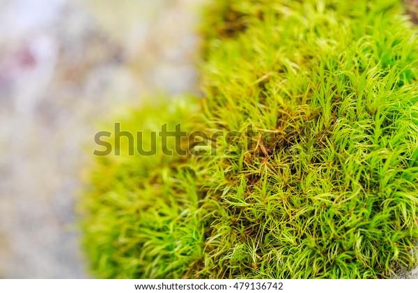 Macro closeup fresh green moss in nature. Shallow focus
