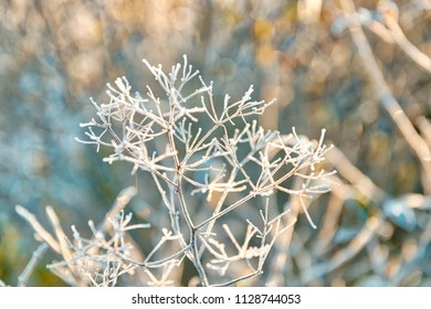 Macro closeup of frost ice crystals on dry weed umbrella plant in morning sunrise during winter, autumn