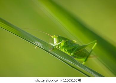 Macro close-up of a Great Green Bush-cricket, Tettigonia viridissima.