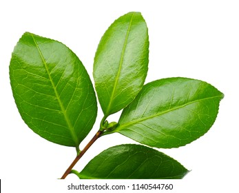 a macro closeup of green branch leaf of tea tree Camelia Camellia sinensis isolated on white, its leaves and leaf buds are used to make tea