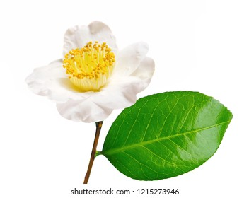 a macro closeup of green branch with a leaf of tea tree Camelia Camellia sinensis yellow flower blossom isolated on white