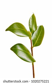 a macro closeup of green branch of tea tree Camelia Camellia sinensis isolated on white, its leaves and leaf buds are used to make tea