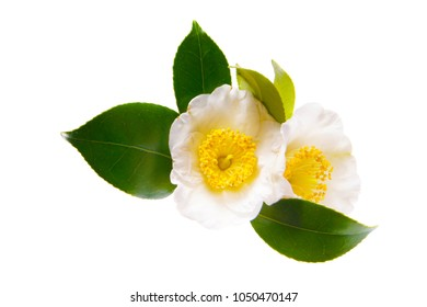 a macro closeup of green branch of tea tree Camelia Camellia sinensis yellow flower blossom isolated on white, its leaves and leaf buds are used to make tea