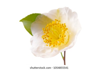 a macro closeup of green branch of tea tree Camelia Camellia sinensis white and yellow flower blossom isolated on white, its leaves and leaf buds are used to make tea