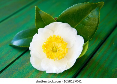 a macro closeup of green branch of tea tree Camelia Camellia sinensis white and yellow flower blossom on a green wooden table board, its leaves and leaf buds are used to make tea