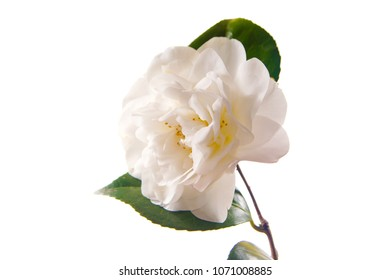 a macro closeup of green branch of tea tree Camelia Camellia sinensis yellow flower blossom isolated on white