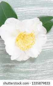 a macro closeup of green branch of tea tree Camelia Camellia sinensis yellow flower blossom on a blue wooden table board, its leaves and leaf buds are used to make tea