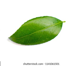 a macro closeup of green leaf of tea tree Camelia Camellia sinensis isolated on white, its leaves and leaf buds are used to make tea
