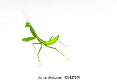 macro closeup of green Praying Mantis - Rhombodera basalis with soft/grain white background.