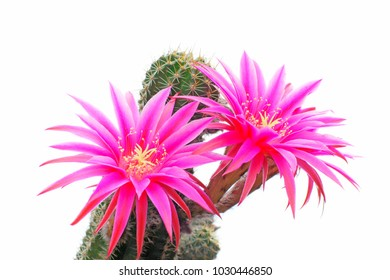 macro closeup of hot pink purple flowers of Echinopsis Lobivia hybrid cactus isolated on white