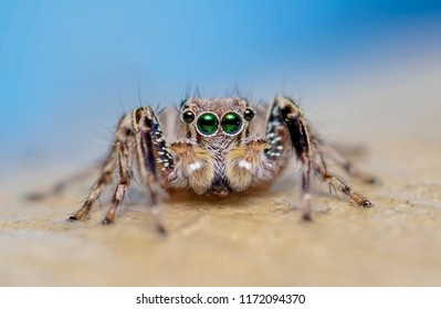 Macro closeup. Hyllus semicupreus Jumping Spider.  This spider is known to eat small insects like grasshoppers, flies, bees as well as other small spiders.