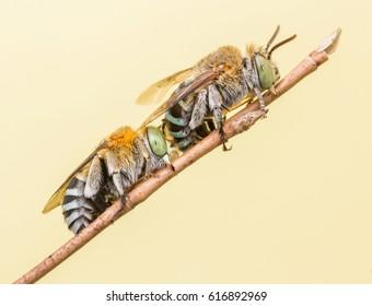macro closeup images of two cuckoo bees