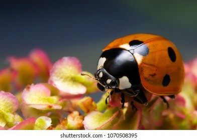 Macro, Closeup insect, ladybug