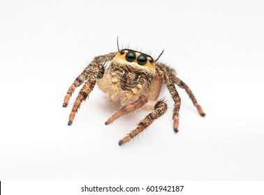 macro closeup of jumping spider with isolated white background