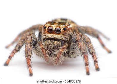 macro closeup of jumping spider on white background