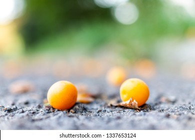 Macro closeup of many two apricot plums on ground with bokeh background fallen yellow orange fruit in summer road street