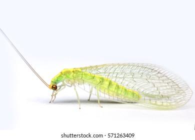 Macro closeup of Mayflies with white background