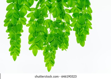 Macro, Closeup Moringa leaves on a white background