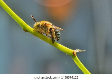 Macro and close-up natural view of blue-banded bee. Blue-banded bee that is biting a flower stem with natural blur background.