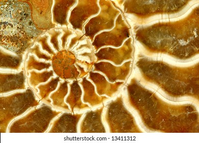 Macro Close-up of a Nautilus Fossil