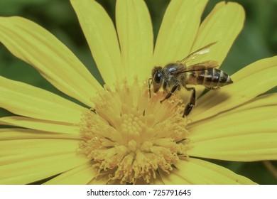 macro closeup on honeybee.