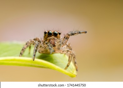 macro closeup on Hyllus semicupreus Jumping Spider. This spider is known to eat small insects like grasshoppers, flies, bees as well as other small spiders. - Shutterstock ID 1741445750
