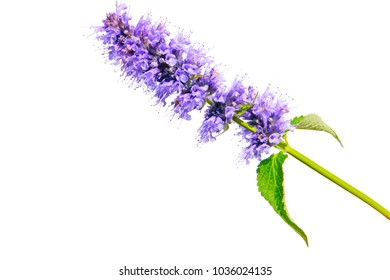 a macro closeup on purple blue aromatic flower cluster bloom of Agastache garden herb from hyssop and mint family, with taste and aroma similar to licorice liquorice isolated on white