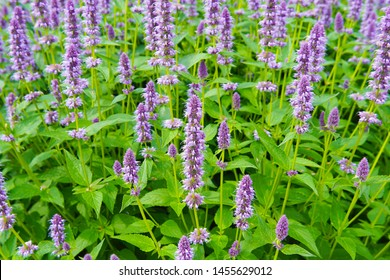a macro closeup on purple blue aromatic flower cluster bloom of Agastache garden herb from hyssop and mint family, with taste and aroma like licorice liquorice against bright green garden background