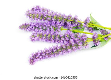 a macro closeup on purple blue aromatic flower cluster bloom bunch bouquet arrof Agastache garden herb from hyssop and mint family, with taste and aroma similar to licorice liquorice isolated on white
