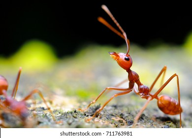 macro closeup on weaver ant