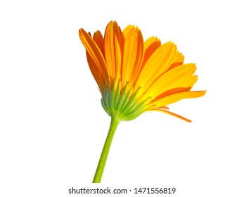 macro closeup of an orange yellow edible flower of Calendula officinalis Marigold plant and leaves isolated on white, medicinal herb and natural dye for fabrics, oil protects skin, prevents infection