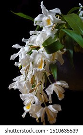 macro closeup of orchid species Coelogyne cristata yellow white green flower branch with soft blossoms isolated on black