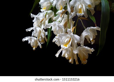 macro closeup of orchid species Coelogyne cristata yellow white green flower branch with soft blossoms abundance isolated on black