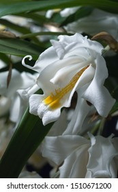 macro closeup of orchid species plant Coelogyne cristata yellow white green flower branch with soft blossoms