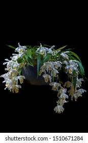 macro closeup of orchid species plant Coelogyne cristata yellow white green flower branch with soft blossoms isolated on black