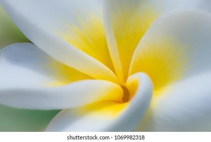 macro close-up photo of the heart of the plumeria flower (frangipani) - taken from honolulu hawaii Oahu