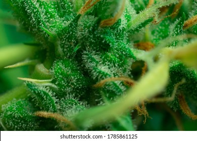 Macro close-up photo of THC cannabis crystals. Weed trichomes, Marijuana plant