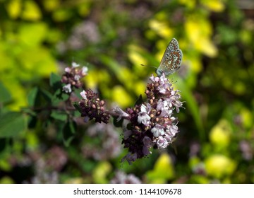Macro close-up photograph of an Adonis Blue Butterfly (Polyommatus bellargus) with closed wings on an Oregano Flower (Origanum vulgare), with shallow depth of field