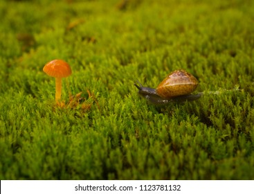 Macro close-up photograph of a Copse Snail (Arianta arbustorum) crawling over moss (Bryophyte species) towards a small yellow toadstool (Marasmius species) with shallow depth of field