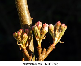 Macro close-up photograph of the leaf and blossom buds of a dwarf variety pear tree (Pyrus communis 'Beth') on a branch in Spring, with shallow depth of field