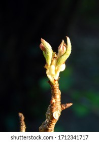 Macro close-up photograph of the leaf and blossom buds of a dwarf variety pear tree (Pyrus communis 'Beth') at the end of a twig in Spring, with shallow depth of field