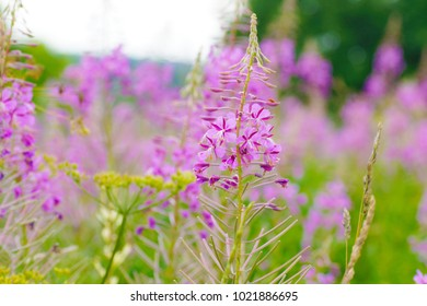 a macro closeup of pink purple blossoms of Chamaenerion angustifolium flowers or fireweed fire weed or willowherb willow herb, plant used in preparation of traditional Russian chai fermented tea