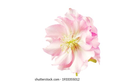 macro closeup of pink purple flower of Helleborus niger orientalis Christmas rose black hellebore, plant is one of the first to bloom in winter isolated on white