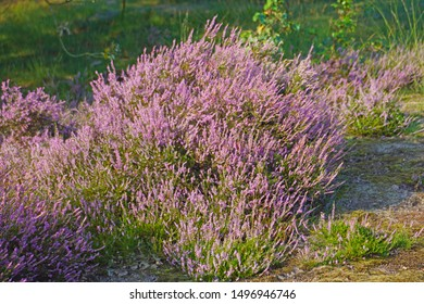 a macro closeup of pink purple flowers of perennial shrub Calluna plant, or common ling heather from Erica family